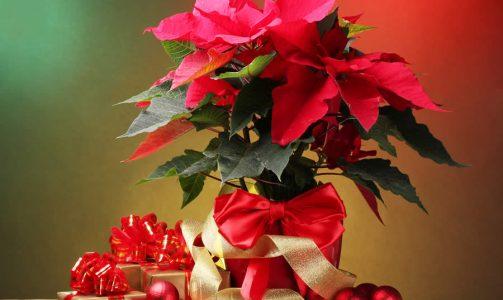 Regalare fiori a Natale